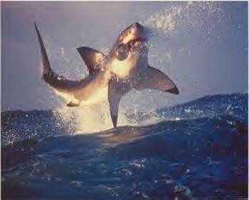 cá mập jump
