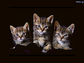 cats - so freakin cute! wallpaper
