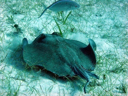 stachelrochen, stingray