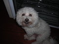 sweeti - bichon-frises photo