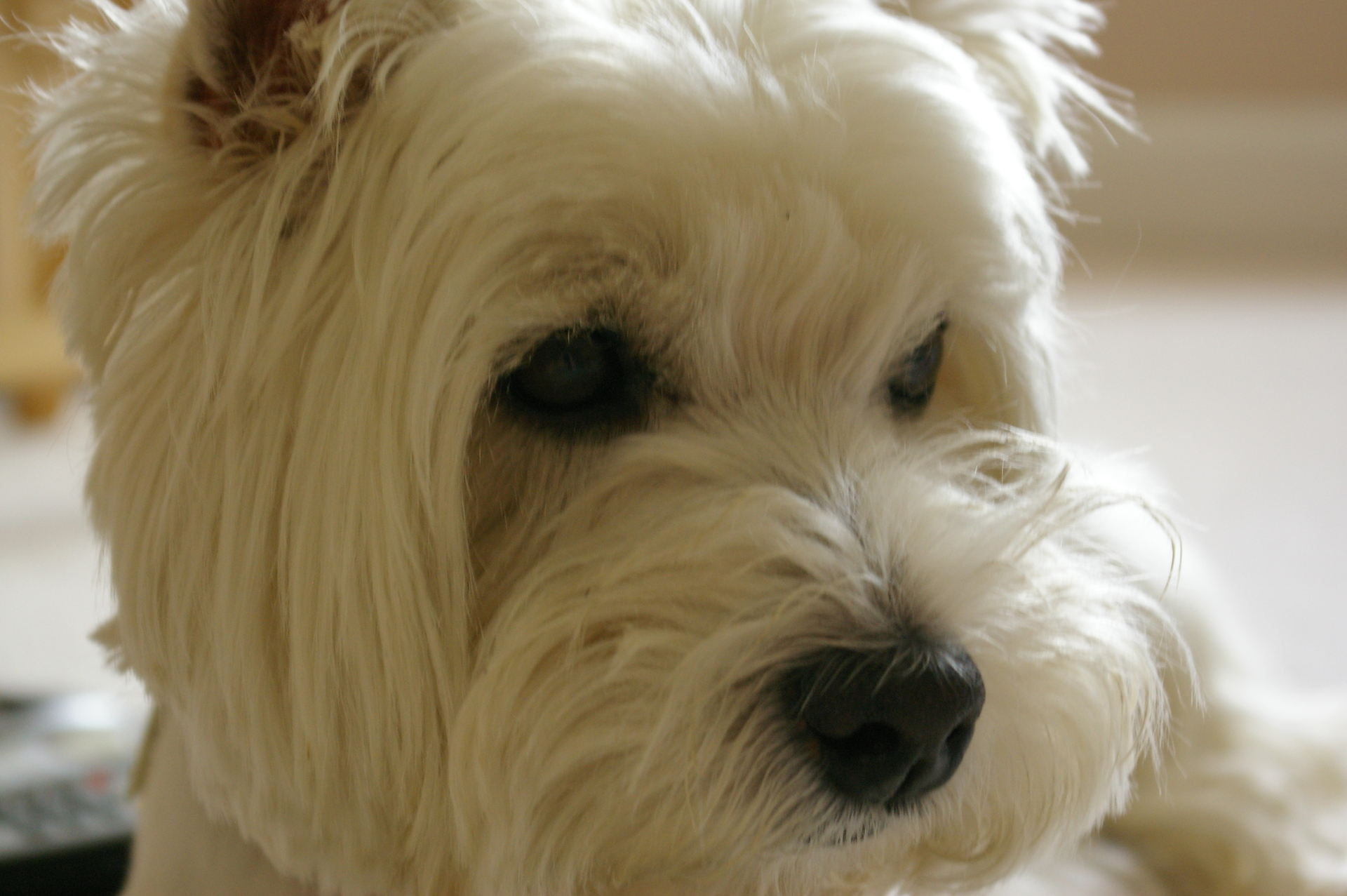http://images.fanpop.com/images/image_uploads/westie-west-highland-white-terriers-380168_1920_1277.jpg