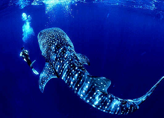 Sea Life Images Whale Shark Wallpaper And Background Photos