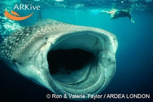 baleine requin
