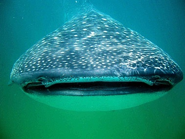 кит акула