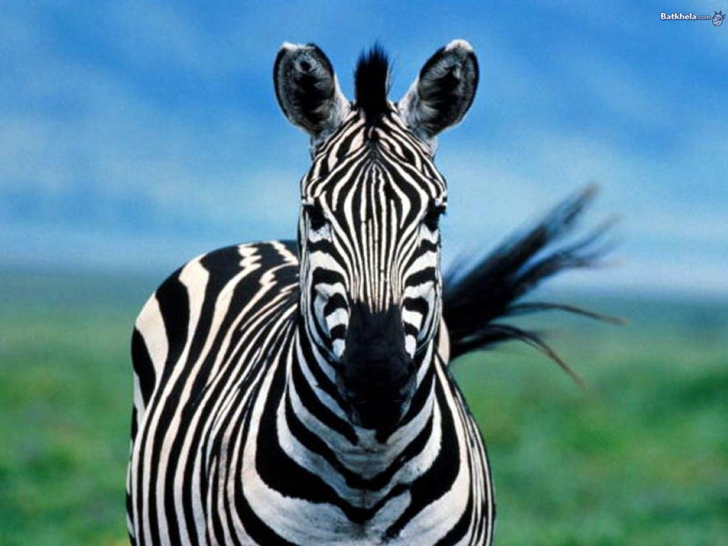 zebra animals