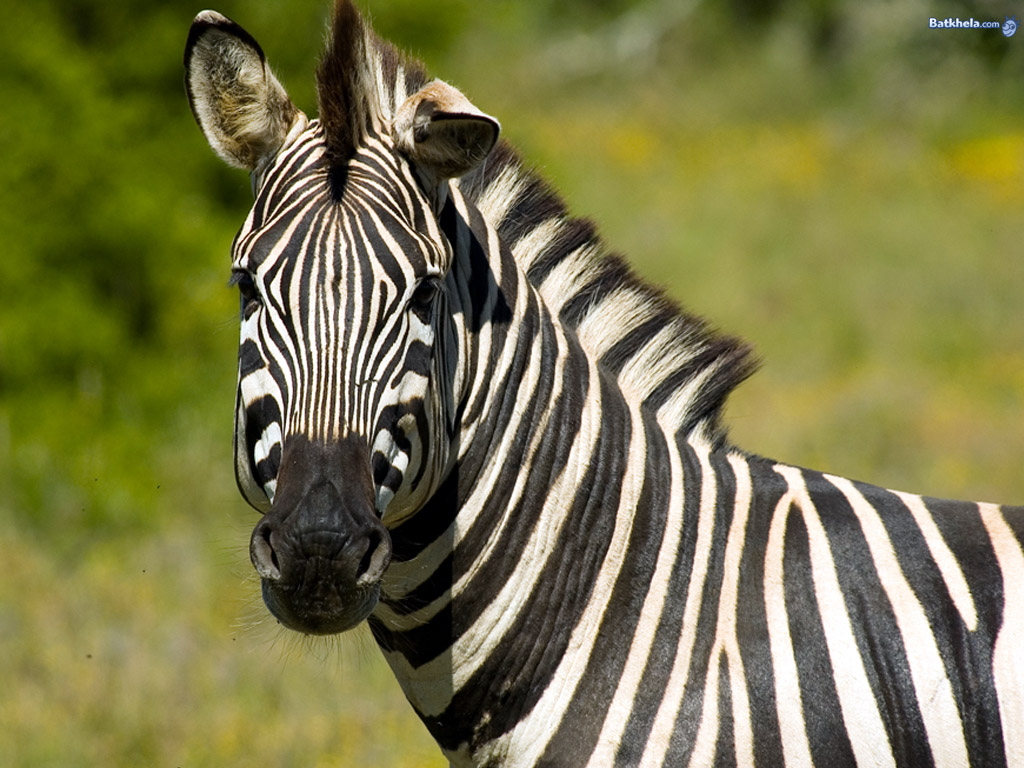 zebra - The Animal Kingdom Wallpaper (250735) - Fanpop