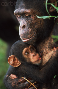 Parental investment in chimps is not only important socially, but key to their survival.