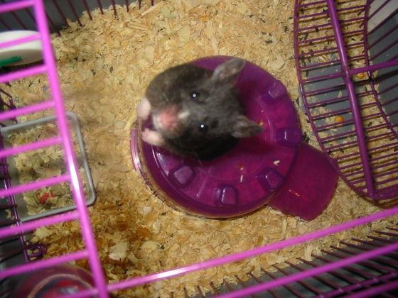 R I P Taffy - Hamsters - Fanpop