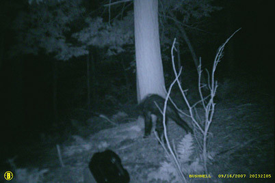 Bigfoot or Bear?