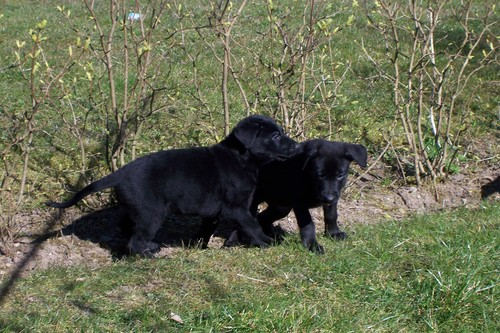 Black Alsatian Puppies